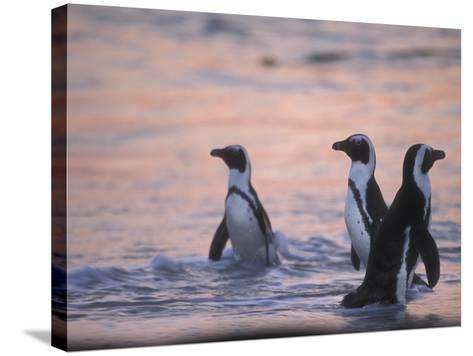 Jackass Penguin, Cape Town, South Africa-Stuart Westmoreland-Stretched Canvas Print
