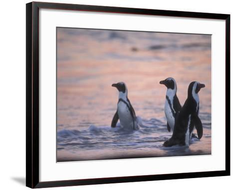 Jackass Penguin, Cape Town, South Africa-Stuart Westmoreland-Framed Art Print
