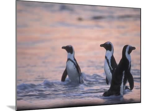 Jackass Penguin, Cape Town, South Africa-Stuart Westmoreland-Mounted Photographic Print