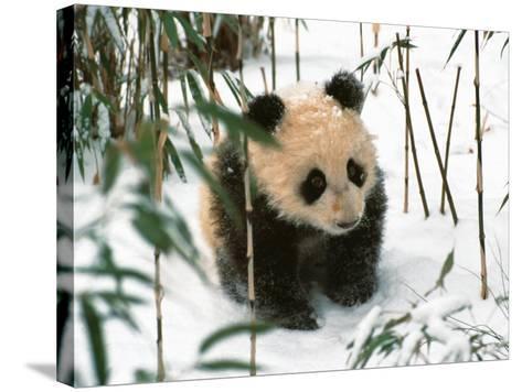 Panda Cub on Snow, Wolong, Sichuan, China-Keren Su-Stretched Canvas Print