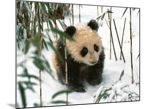 Panda Cub on Snow, Wolong, Sichuan, China-Keren Su-Mounted Photographic Print