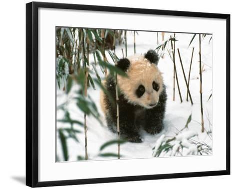 Panda Cub on Snow, Wolong, Sichuan, China-Keren Su-Framed Art Print