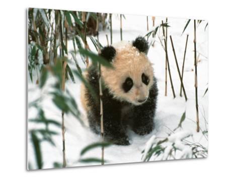 Panda Cub on Snow, Wolong, Sichuan, China-Keren Su-Metal Print