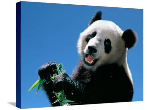 Panda Eating Bamboo, Wolong, Sichuan, China-Keren Su-Stretched Canvas Print