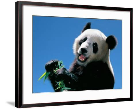 Panda Eating Bamboo, Wolong, Sichuan, China-Keren Su-Framed Art Print