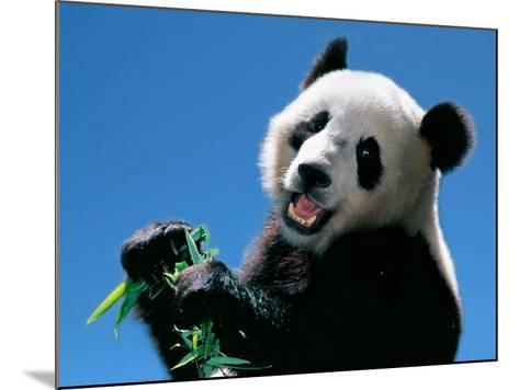 Panda Eating Bamboo, Wolong, Sichuan, China-Keren Su-Mounted Photographic Print