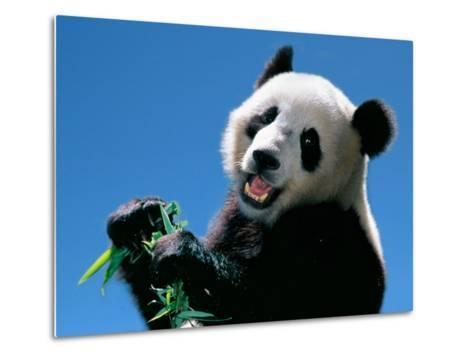 Panda Eating Bamboo, Wolong, Sichuan, China-Keren Su-Metal Print