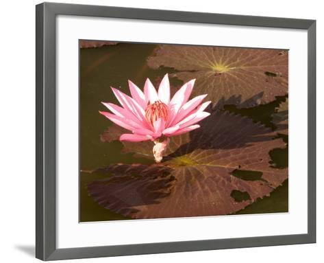 Lotus Flower in the Morning Light, Sukhothai, Thailand-Gavriel Jecan-Framed Art Print