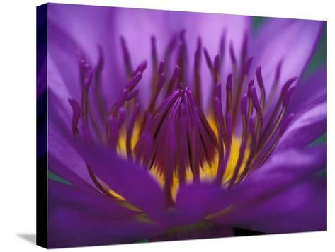 Purple and Yellow Lotus Flower, Bangkok, Thailand-John & Lisa Merrill-Stretched Canvas Print