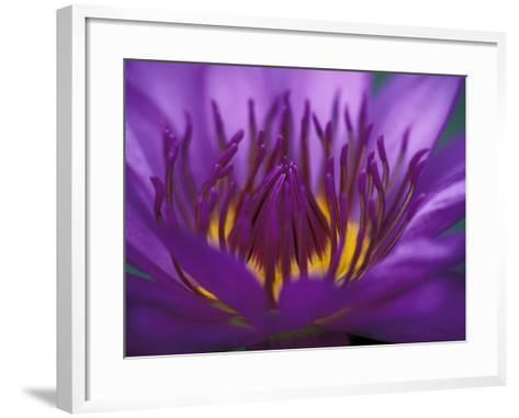 Purple and Yellow Lotus Flower, Bangkok, Thailand-John & Lisa Merrill-Framed Art Print
