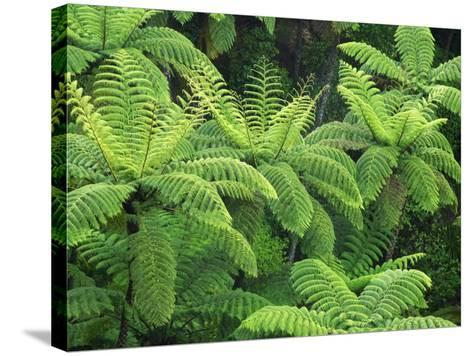 Ferns, AH Reed Memorial Kauri Park, Northland, New Zealand-David Wall-Stretched Canvas Print