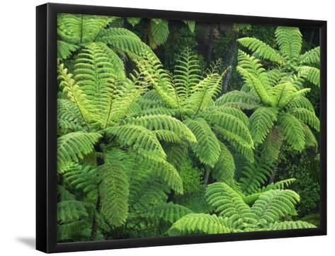 Ferns, AH Reed Memorial Kauri Park, Northland, New Zealand-David Wall-Framed Art Print