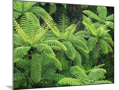 Ferns, AH Reed Memorial Kauri Park, Northland, New Zealand-David Wall-Mounted Photographic Print