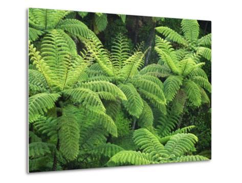 Ferns, AH Reed Memorial Kauri Park, Northland, New Zealand-David Wall-Metal Print