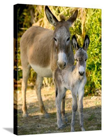 Mother and Baby Donkeys on Salt Cay Island, Turks and Caicos, Caribbean-Walter Bibikow-Stretched Canvas Print