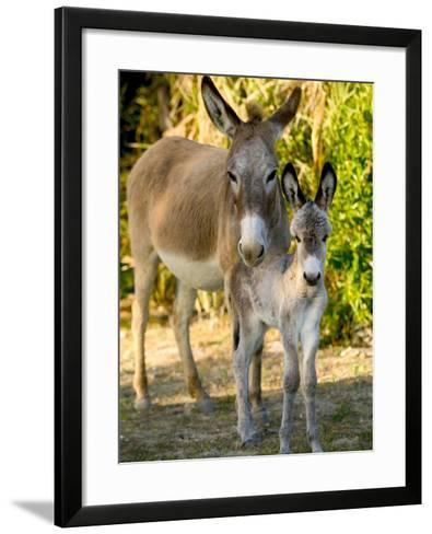 Mother and Baby Donkeys on Salt Cay Island, Turks and Caicos, Caribbean-Walter Bibikow-Framed Art Print