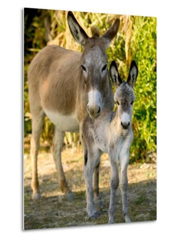 Mother and Baby Donkeys on Salt Cay Island, Turks and Caicos, Caribbean-Walter Bibikow-Metal Print