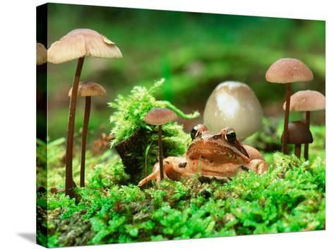 Small Toad Surrounded by Mushrooms, Jasmund National Park, Island of Ruegen, Germany-Christian Ziegler-Stretched Canvas Print