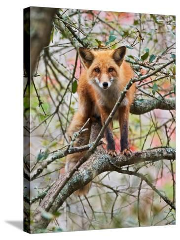 Red Fox in Tree-Adam Jones-Stretched Canvas Print