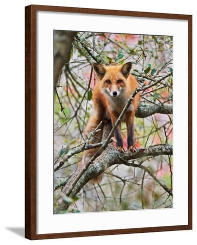 Red Fox in Tree-Adam Jones-Framed Art Print