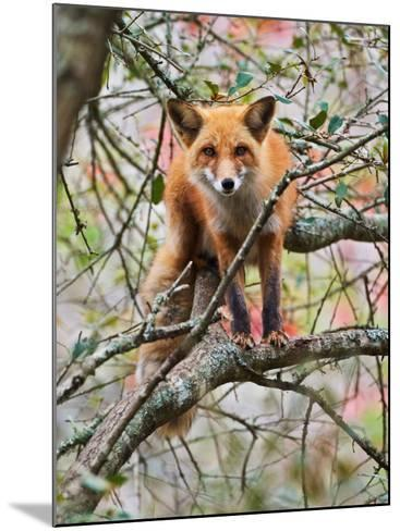 Red Fox in Tree-Adam Jones-Mounted Photographic Print