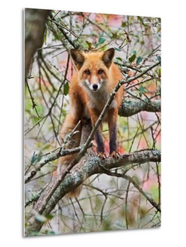 Red Fox in Tree-Adam Jones-Metal Print
