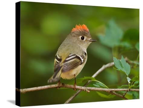 Male Ruby-Crowned Kinglet-Adam Jones-Stretched Canvas Print