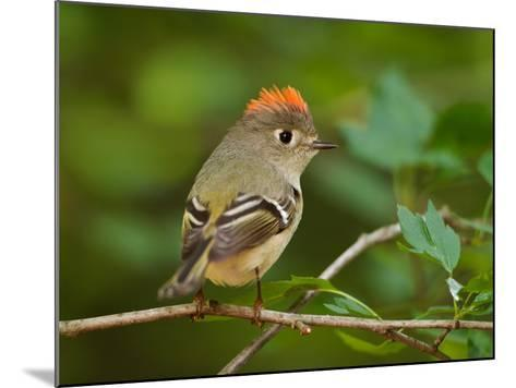 Male Ruby-Crowned Kinglet-Adam Jones-Mounted Photographic Print