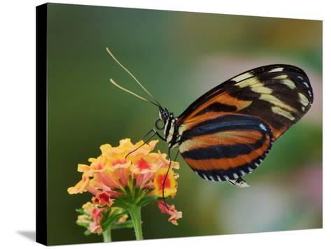 Tiger Butterfly-Adam Jones-Stretched Canvas Print