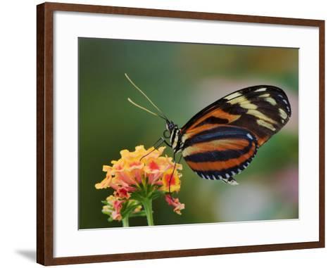 Tiger Butterfly-Adam Jones-Framed Art Print
