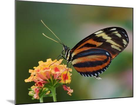 Tiger Butterfly-Adam Jones-Mounted Photographic Print