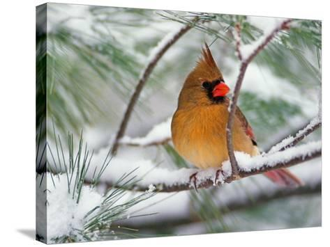 Female Northern Cardinal in Snowy Pine Tree-Adam Jones-Stretched Canvas Print
