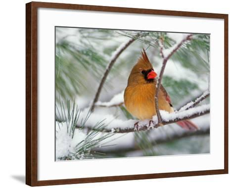 Female Northern Cardinal in Snowy Pine Tree-Adam Jones-Framed Art Print