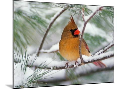 Female Northern Cardinal in Snowy Pine Tree-Adam Jones-Mounted Photographic Print