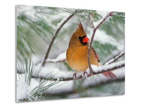 Female Northern Cardinal in Snowy Pine Tree-Adam Jones-Metal Print