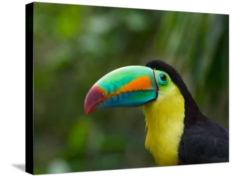 Keel-billed Toucan on Tree Branch, Panama-Keren Su-Stretched Canvas Print