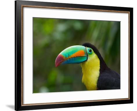 Keel-billed Toucan on Tree Branch, Panama-Keren Su-Framed Art Print