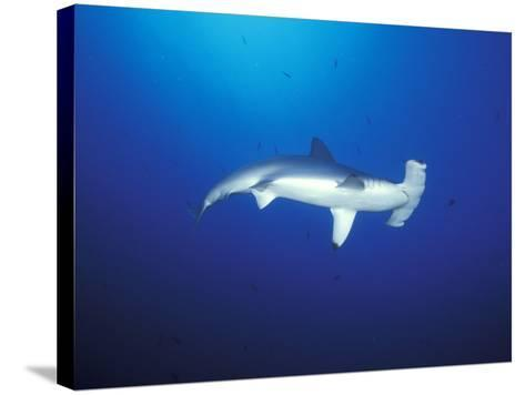 Scalloped Hammerhead Shark, Cocos Island, Costa Rica-Stuart Westmoreland-Stretched Canvas Print
