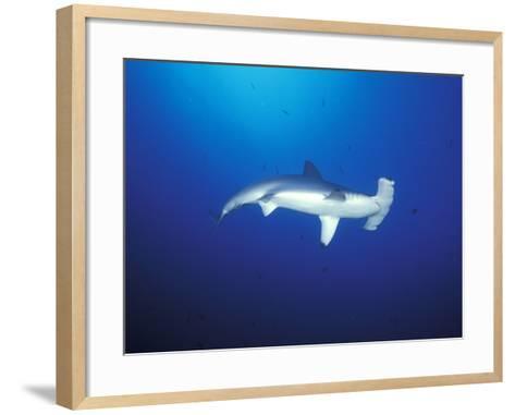 Scalloped Hammerhead Shark, Cocos Island, Costa Rica-Stuart Westmoreland-Framed Art Print