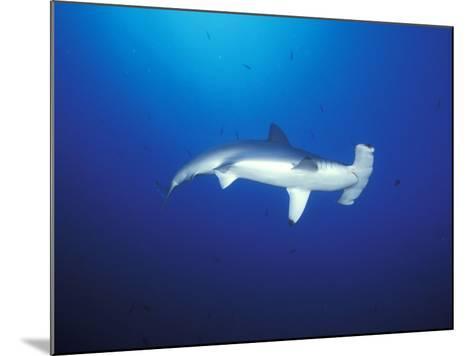 Scalloped Hammerhead Shark, Cocos Island, Costa Rica-Stuart Westmoreland-Mounted Photographic Print