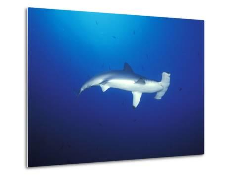 Scalloped Hammerhead Shark, Cocos Island, Costa Rica-Stuart Westmoreland-Metal Print