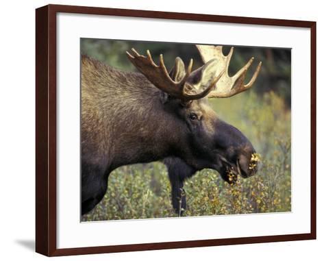 Bull Moose with Antlers, Denali National Park, Alaska, USA-Howie Garber-Framed Art Print