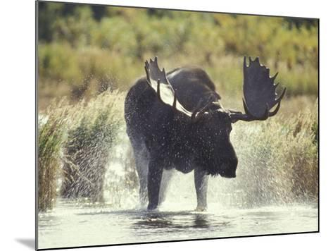 Moose Shower in Katmai National Park, Alaska, USA-Howie Garber-Mounted Photographic Print