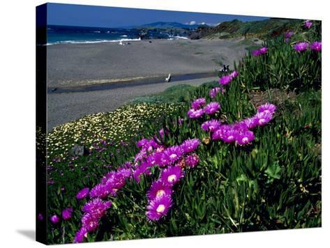 Ice Plant on California Coastline, USA-Terry Eggers-Stretched Canvas Print