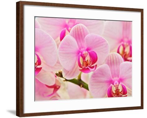 Hybrid Orchids, Selby Gardens, Sarasota, Florida, USA-Adam Jones-Framed Art Print