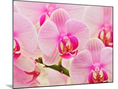 Hybrid Orchids, Selby Gardens, Sarasota, Florida, USA-Adam Jones-Mounted Photographic Print