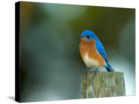 Male Eastern Bluebird on Fence Post, Florida, USA-Maresa Pryor-Stretched Canvas Print