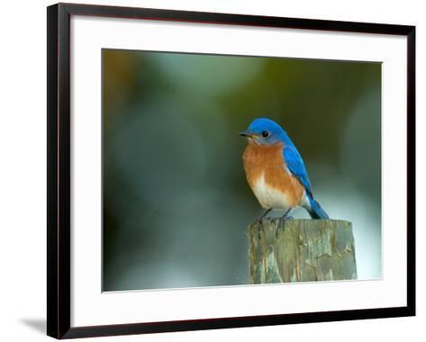 Male Eastern Bluebird on Fence Post, Florida, USA-Maresa Pryor-Framed Art Print