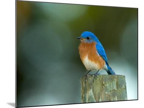 Male Eastern Bluebird on Fence Post, Florida, USA-Maresa Pryor-Mounted Photographic Print