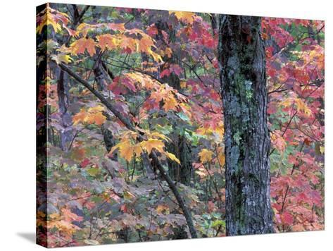 Forest Landscape and Fall Colors on Deciduous Trees, Lake Superior National Forest, Minnesota, USA-Gavriel Jecan-Stretched Canvas Print